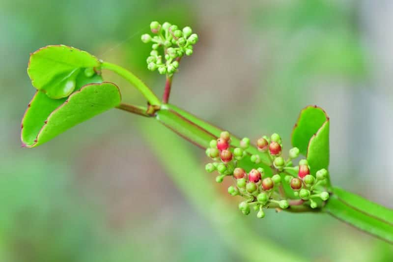 cissus injury recovery supplement